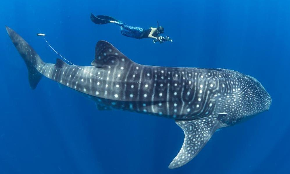 Whale Shark and Megafauna Conservation in Mozambique!